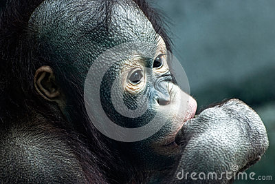 Close up of little orangutan (Pongo pygmaeus)