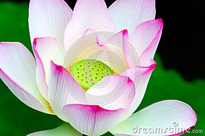 Close-up of lotus flower