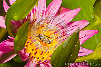 Close up of lotus flower
