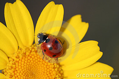 Close up macro of ladybug