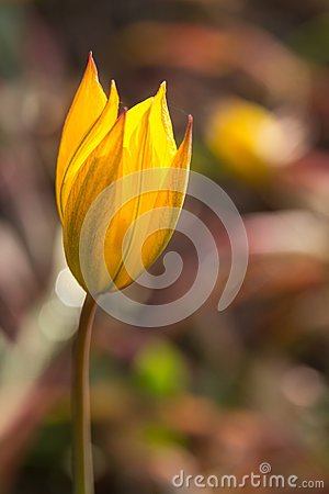Free Close Up Macro Of Bright Yellow Flower. Royalty Free Stock Photos - 92890128