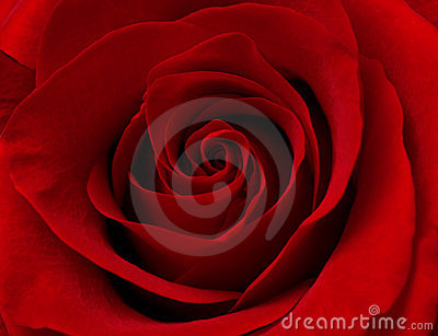 Close up macro of red rose