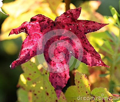 Close up of magenta colored six-pointed leaf.
