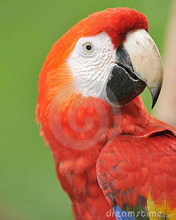 Close up of magnificent scarlet macaw, costa rica