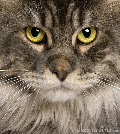 Close up of a Maine Coon (2 years old)