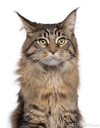 Close-up of Maine Coon cat, 7 months old