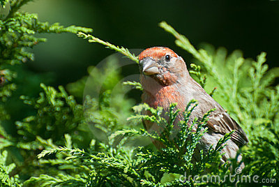 Close Up of a Male House Finch