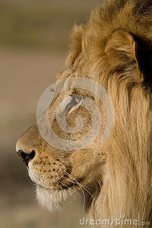 Close-up of a male lion face