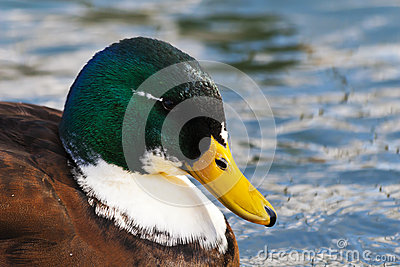Close Up Male Mallard