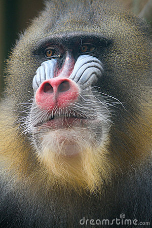 Close up of male Mandrill