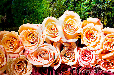 Close up of the many  roses