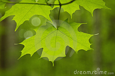 Close up of Maple leaf