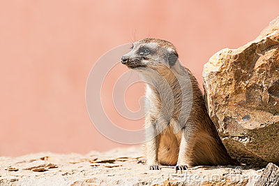 Close up of a meerkat on a rock