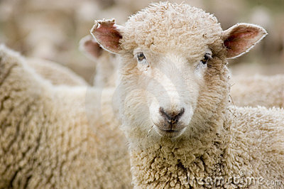 Close up of a Merino sheep