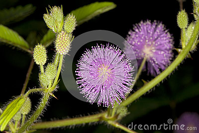 Close up of Mimosa pudica