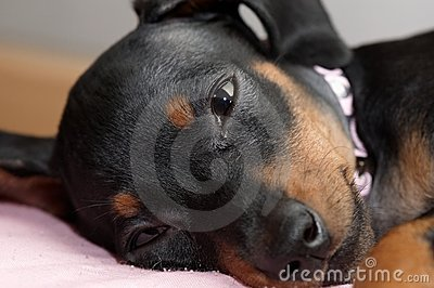 Close-up of a Miniature Pinscher puppy