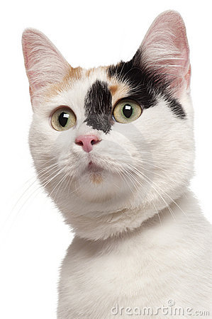Close-up of Mixed-breed cat