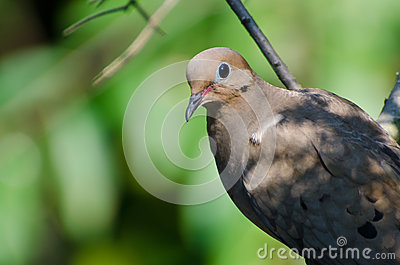 Close Up of a Mourning Dove