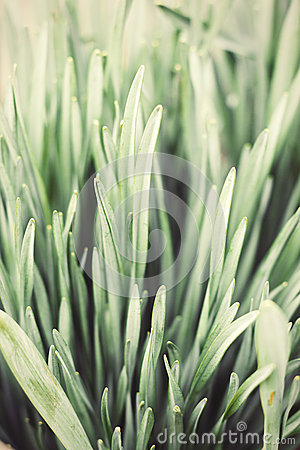 Free Close Up Nature Background Of Vintage Toned  Daffodil Leaves Stock Images - 53237224