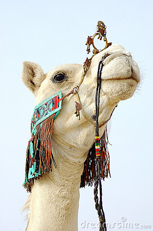 Close up of nomad camel
