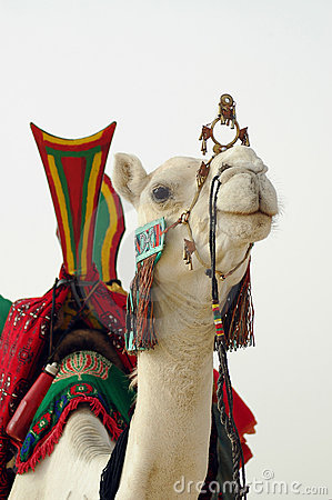 Close up of nomad camel and saddle