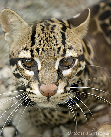Free Close Up Ocelot Big Cat Costa Rica Royalty Free Stock Photos - 12441668