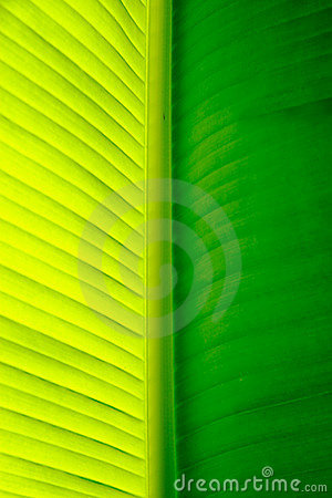 Free Close-up Of A Banana Palm Tree Leaf Royalty Free Stock Images - 315549
