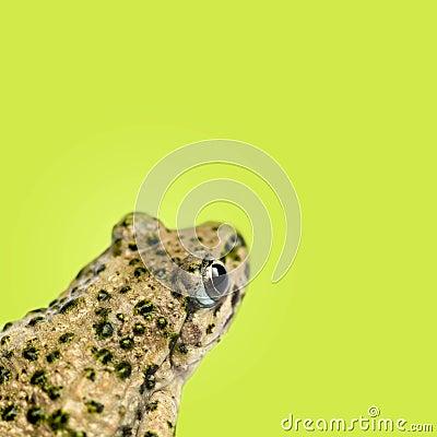 Free Close-up Of A Common Parsley Frog Rear View, Pelodytes Punctatus Stock Photography - 37850552