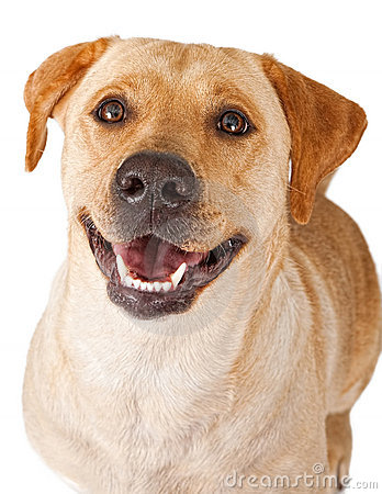 Free Close-up Of A Happy Yellow Labrador Retriever Dog Stock Images - 14768794