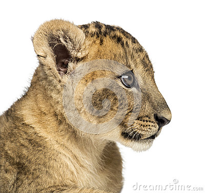 Free Close-up Of A Lion Cub Profile, 7 Weeks Old, Isolated Stock Image - 36783981