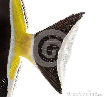 Free Close-up Of A Pennant Coralfish S Caudal Fin Royalty Free Stock Image - 40408726