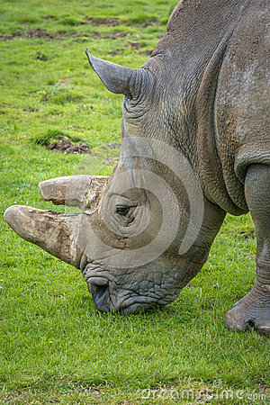 Free Close-up Of A Rhino Eating Grass Royalty Free Stock Photos - 44042278