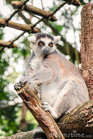Free Close Up Of A Ring-tailed Lemur Relaxing On A Log Stock Photo - 134211940