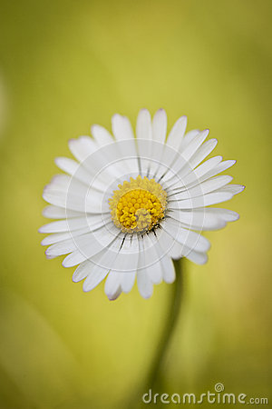 Free Close-up Of A Single Daisy Flower Royalty Free Stock Image - 31427306