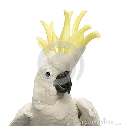 Free Close-up Of A Sulphur-crested Cockatoo, Cacatua Galerita, 30 Years Old, With Crest Up Royalty Free Stock Photo - 29490115