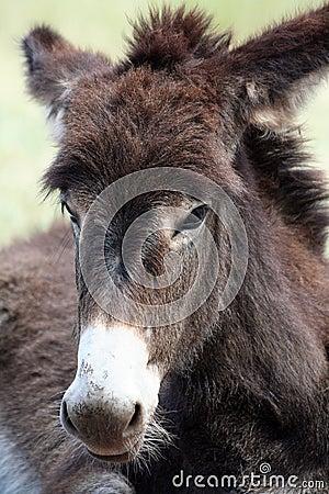 Free Close Up Of A Wild Burro Stock Photos - 21789343