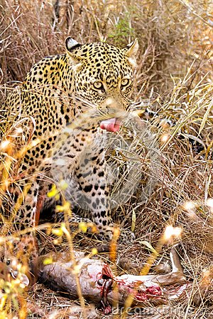 Free Close-up Of An African Leopard Eating It&x27;s Prey Royalty Free Stock Photo - 115333415