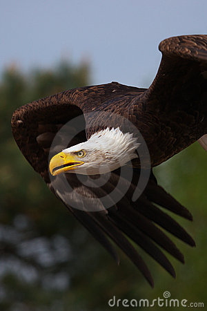 Free Close-up Of An American Bald Eagle In Flight Stock Image - 14075941