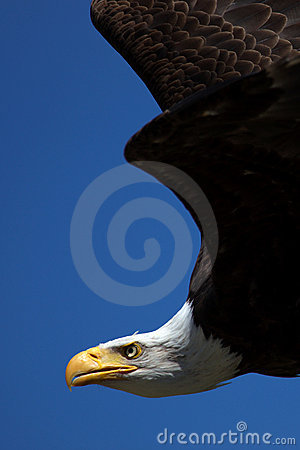 Free Close-up Of An American Bald Eagle In Flight Royalty Free Stock Image - 9641346