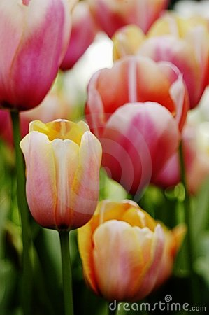 Free Close-up Of Apricot, Pink, Orange And White Tulips Royalty Free Stock Image - 367166
