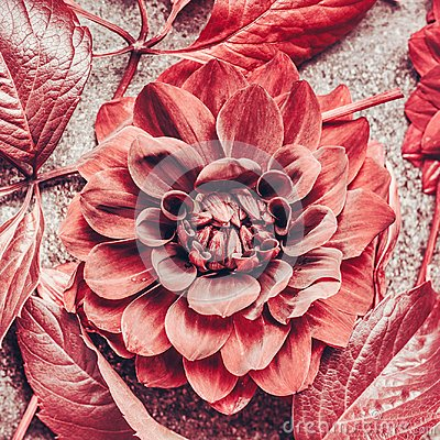 Free Close Up Of Autumn Dahlia Bloom, Top View Stock Photos - 114531923