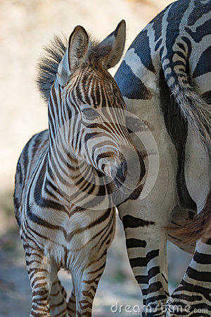 Free Close-up Of Baby Grevy Zebra By Mother Royalty Free Stock Photography - 96171007