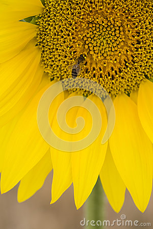 Free Close-up Of Bee On Sunflower Stock Photo - 30849610