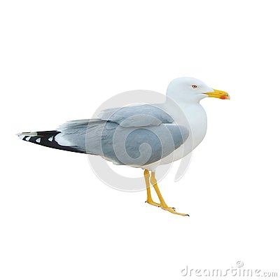 Free Close-up Of Big White Seagull Standing Isolated On White Backgro Royalty Free Stock Image - 107112816