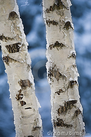 Free Close-up Of Birch Tree Trunks Royalty Free Stock Photo - 22131345