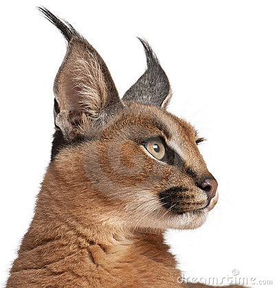 Free Close-up Of Caracal, Caracal Caracal Royalty Free Stock Images - 20334619