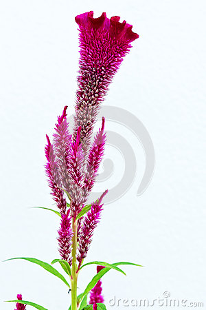 Free Close Up Of Cockscomb Flower Royalty Free Stock Images - 28415599