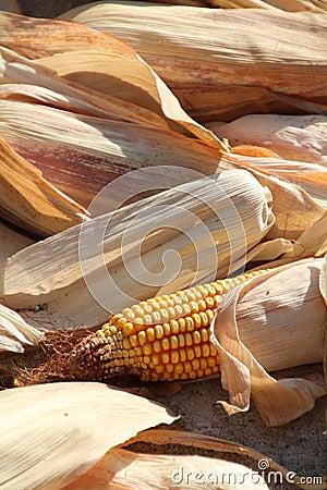 Free Close Up Of Corn Cobs Stock Photos - 21105023