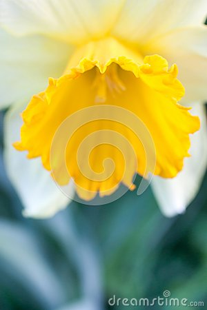 Free Close Up Of Daffodil Royalty Free Stock Photo - 30641205