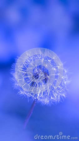 Free Close Up Of Dandelion Seed Royalty Free Stock Image - 103384936
